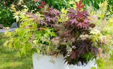 £18.99 instead of £33.01 (from Blooming Direct) for a tricolour Acer 'festival mix' plant - save 42%