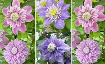 £12.99 instead of £19.97 (from Blooming Direct) for a set of three double clematis plants - save 35%