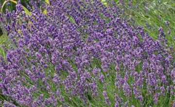 £14.99 (from Jersey Plants Direct) for a set of three lavender elegant purple plants