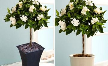 £29.99 (from PlantStore) for a pair of gardenia trees in bud and bloom