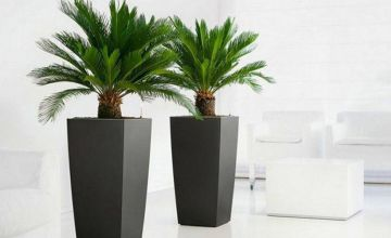 £29.99 instead of £78.98 (from PlantStore) for a pair of King Sago palm trees - save 62%