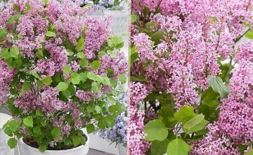 £19.99 instead of £38.99 (from PlantStore) for two dwarf korean lilac shrubs - save 49%