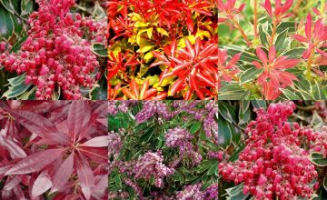 £19.99 instead of £49.99 for a five-plant evergreen pieris shrub collection from PlantStore - save 60%