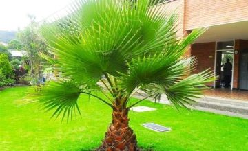 From £17.99 for a giant 4-5ft Washingtonia robusta palm tree, or £29.99 for two trees - save up to 66%