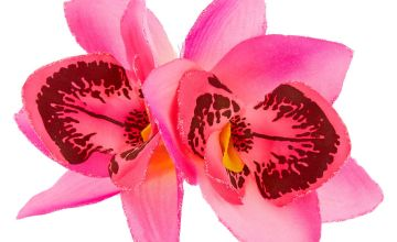 Go to Product: Orchid Flower Hair Clip - Hot Pink