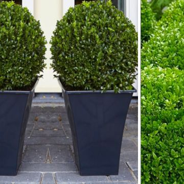 £24 instead of £78.99 (from Plant Store) for two topiary buxus - save up to 70%