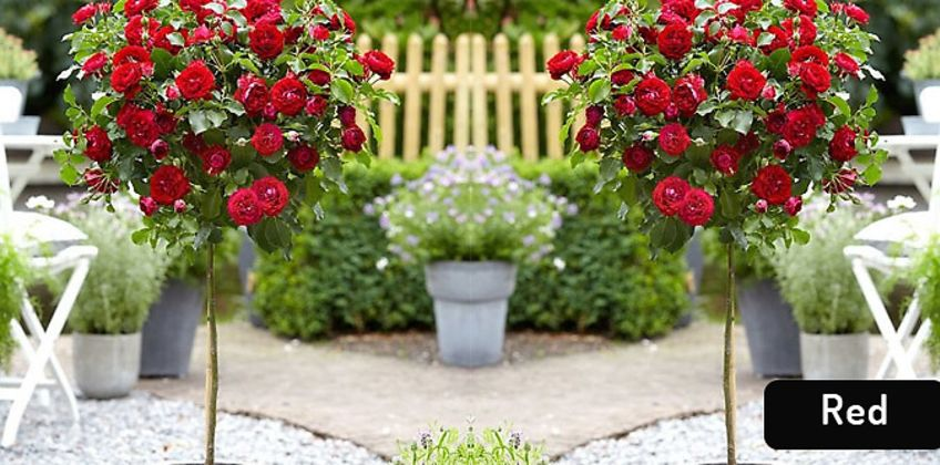 2 or 4 Patio Rose Trees - 5 Colours from GoGroopie