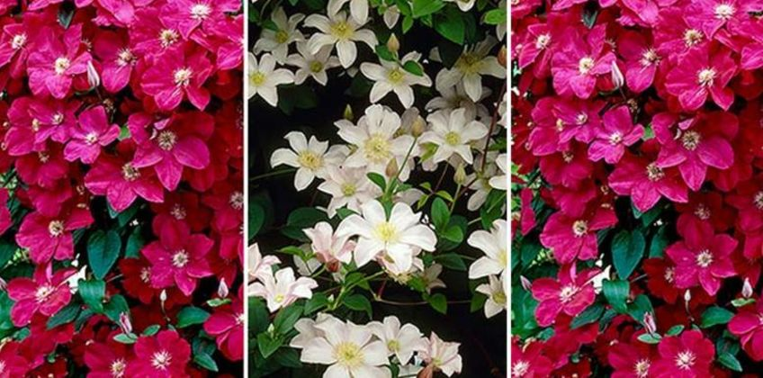 £13.99 instead of £36 (from Blooming Direct) for a pair of patio clematis - save 61% from Wowcher