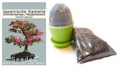 Bonsai Anzuchtset Japanische Kamelie (Camellia japonica