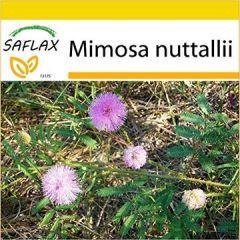 Anzucht Set Großblütige Mimose 15 Samen Mimosa nuttallii