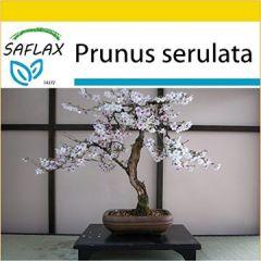 Set Bonsai Japanische Blütenkirsche 30 Samen Mit Mini-Gewächshaus, Anzuchtsubstrat und 2 Töpfen Prunus serulata