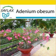 Set Bonsai Wüstenrose 8 Samen Mit Mini-Gewächshaus, Anzuchtsubstrat und 2 Töpfen Adenium obesum