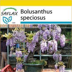Set Bonsai Afrikanischer Blauregen 15 Samen Mit Mini-Gewächshaus, Anzuchtsubstrat und 2 Töpfen Bolusanthus speciosus