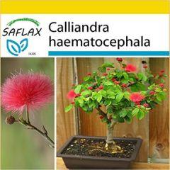 Set Bonsai Puderquastenstrauch 10 Samen Mit Mini-Gewächshaus, Anzuchtsubstrat und 2 Töpfen Calliandra haematocephala