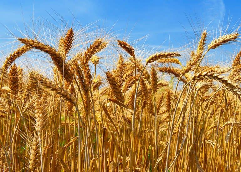 A field of golden wheat set against a blue sky