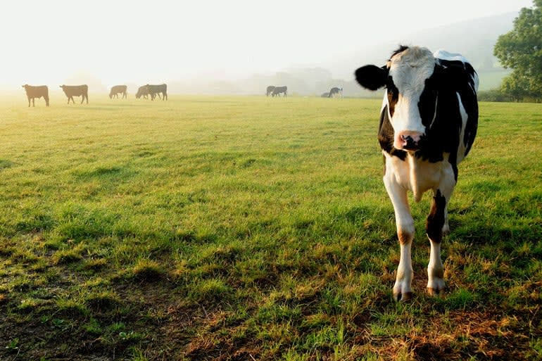 A happy cow standing in a green field