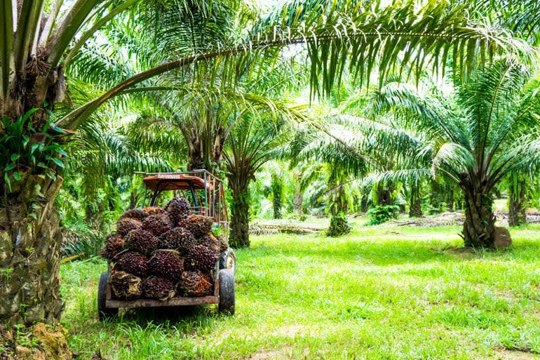 Palm being harvested from a grove of palm trees.