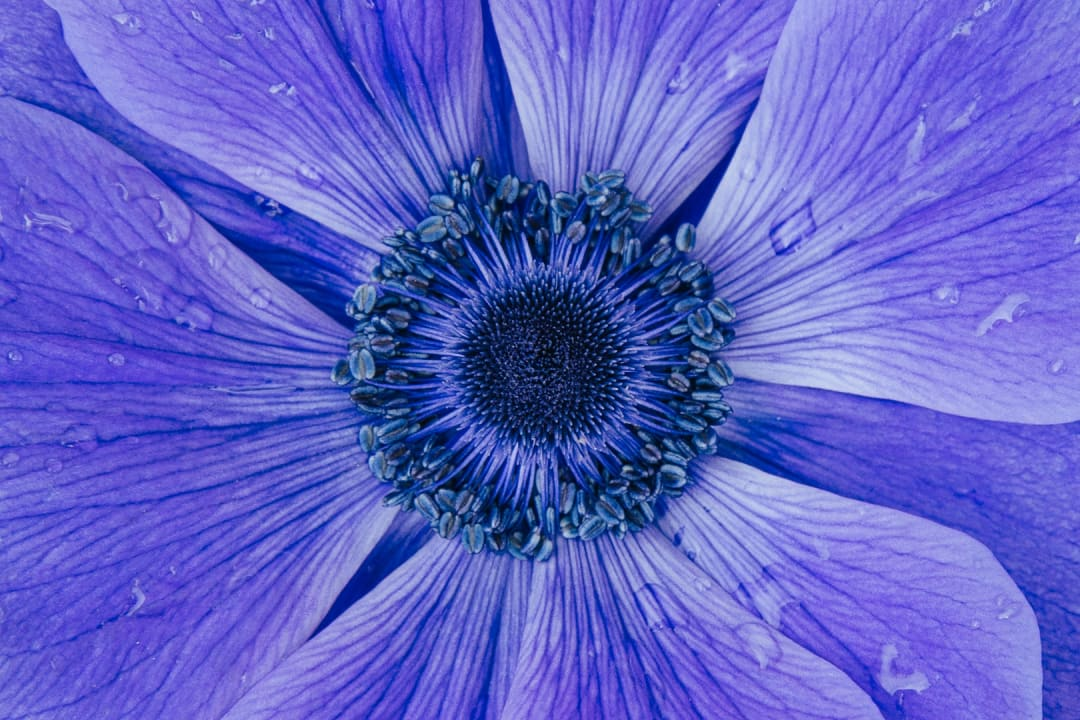A detailed close-up of a purple or blue anemone-mr-fokker-flower.