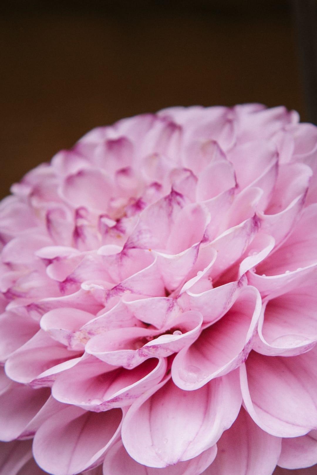 Close up of a pastel pink ball dahlia flower.