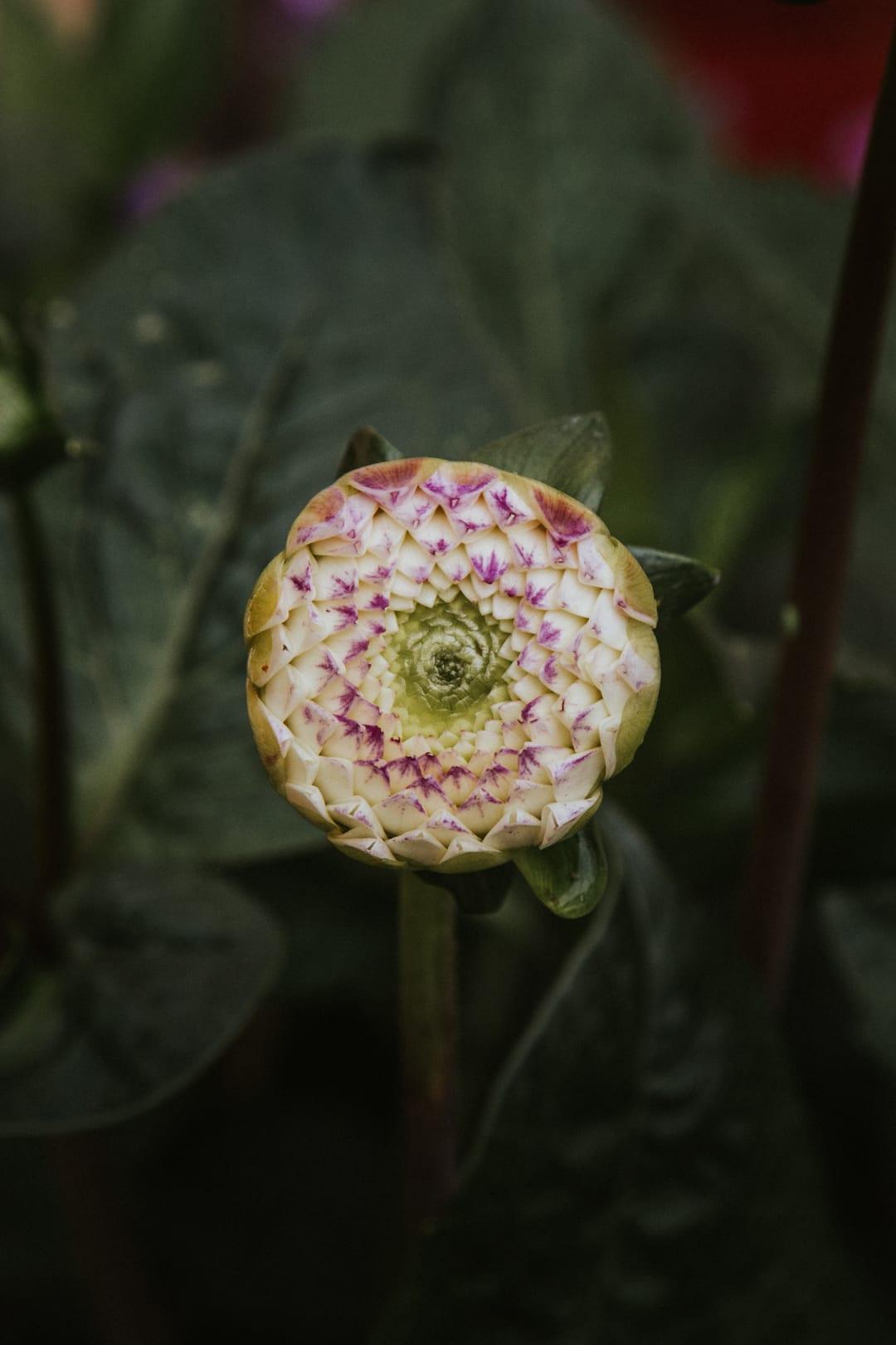 Close up of a budding ball dahlia.