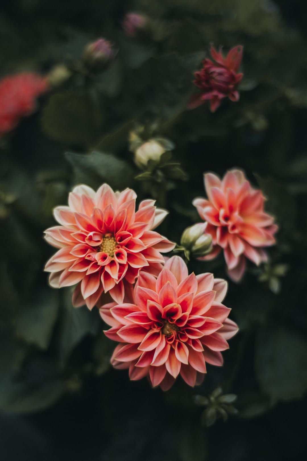 A moody photo of two vibrant pink dahlia flowers.
