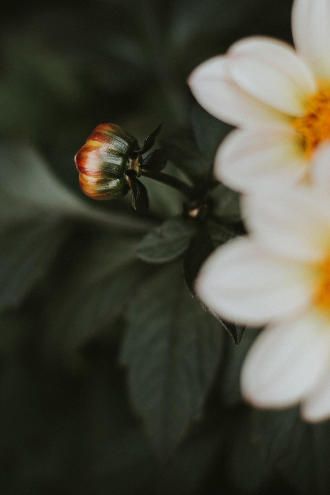 a closed bud from a dark leaf dahlia flower.