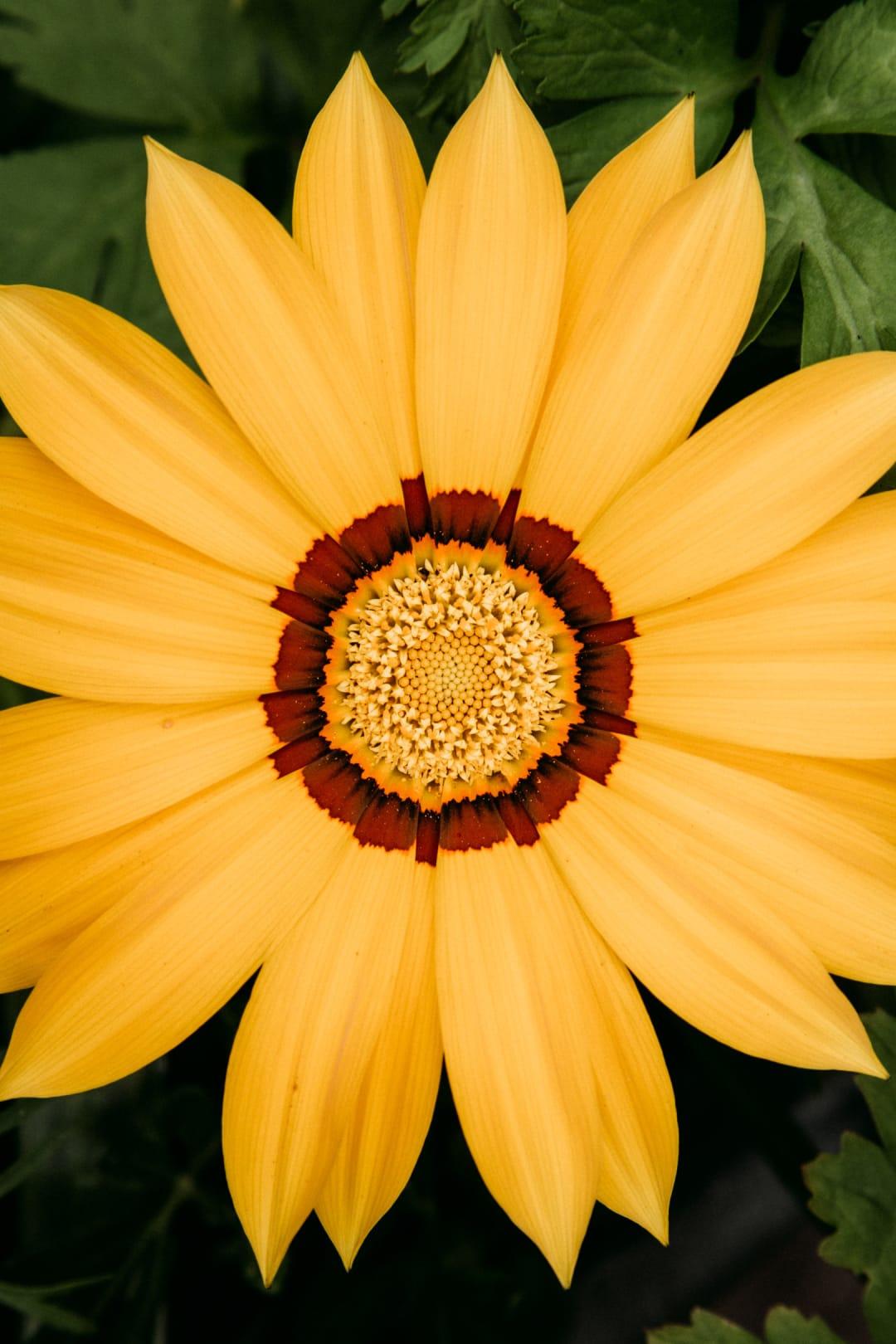 A close up photo of a yellow Gazania flower