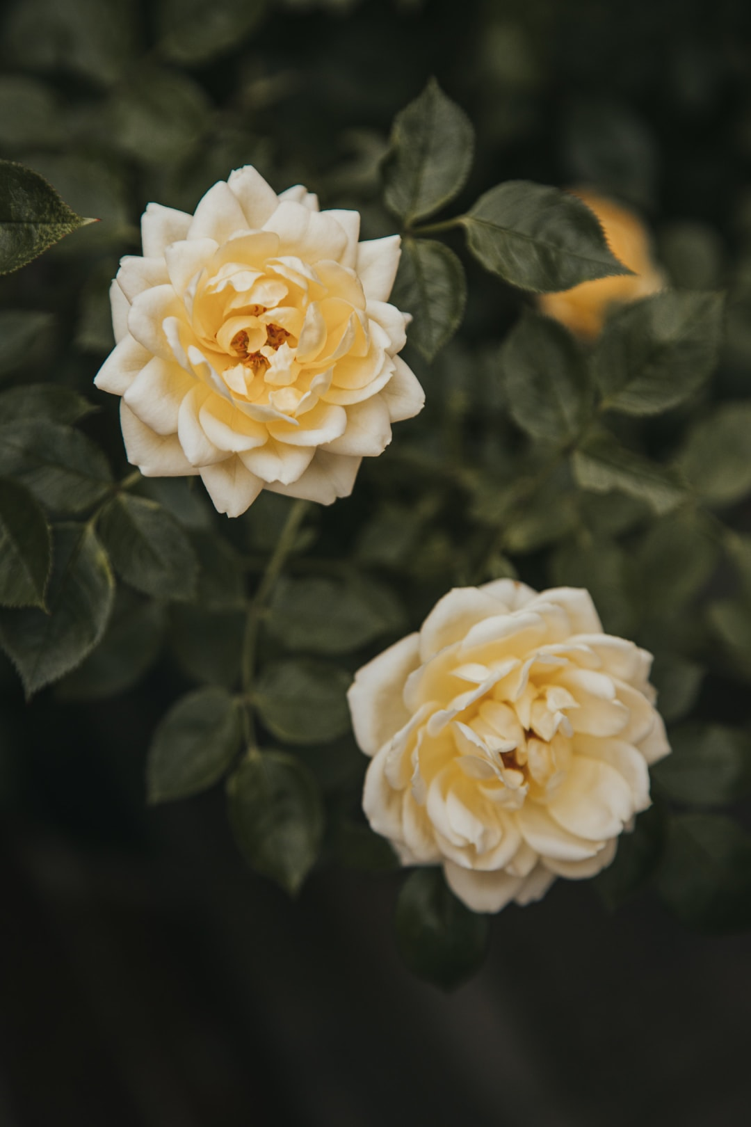 Two blooming soft yellow roses from a patio rose bush.