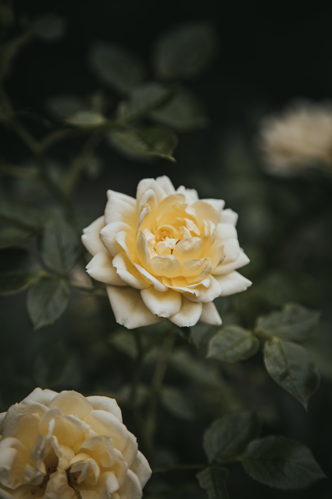 A blooming pastel yellow rose from a patio rose bush.