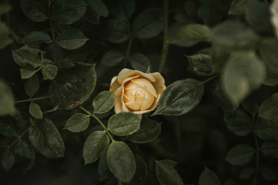 A pale yellow rose from a patio rose bush.