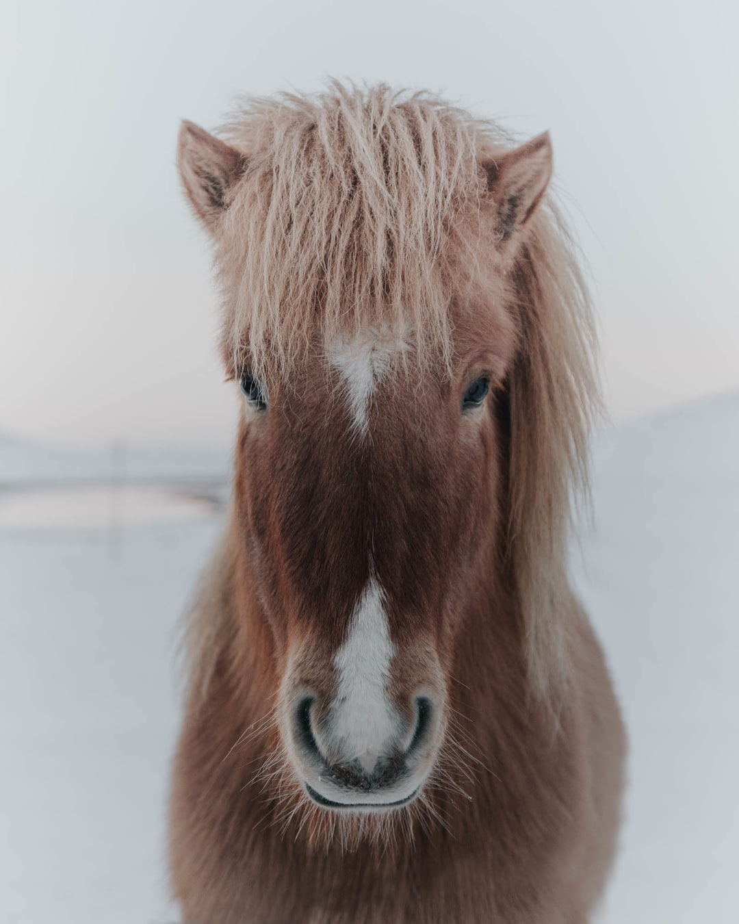 close-up face portrait of a brown Icelandic pony with blond hair stood in the snow landscape photography of Iceland