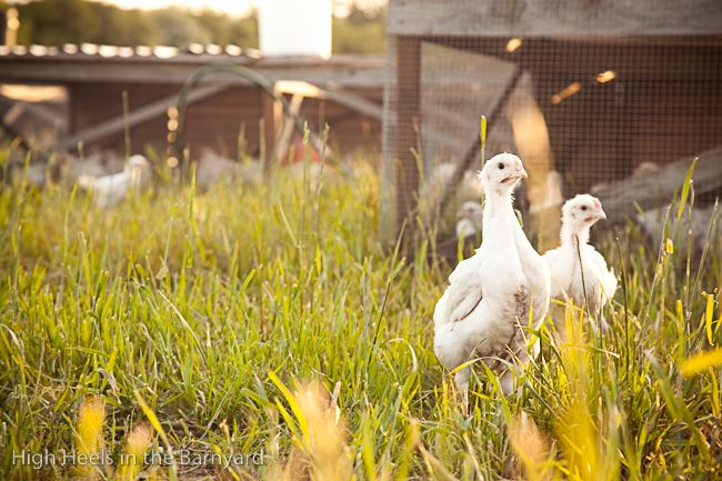 Afton Field Farm - After the first 3 weeks of their lives, the broilers are moved out to pasture for the last 4 weeks of their life.  They are raised in bottomless shelters, exactly like the ones at Polyface Farm in Virginia, and are moved every morning to a fresh piece of the pasture.