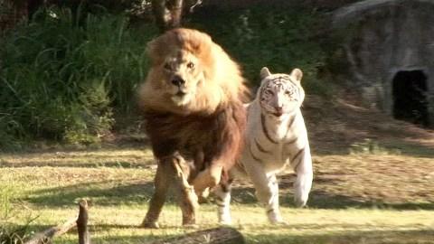 leon y tigre blanco - photo #28