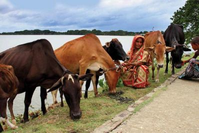Bangladesh livestock