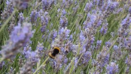 Das Lavendel-Festival auf der Insel Hvar