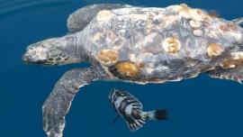 Meeresschildkröten an der Adria