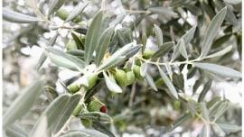 Olive groves in Gabela