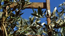 Olivenhaine in Gabela