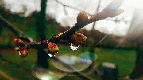 Knospende Zweige nach dem Regen