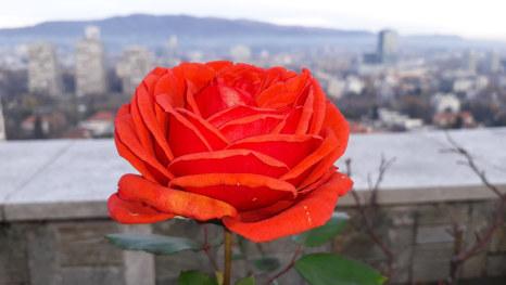 Zagrebačka ruža prkosi zimi