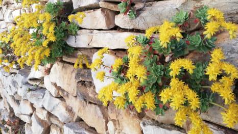 'vako raste čuvar kuće iz kamena na Šolti