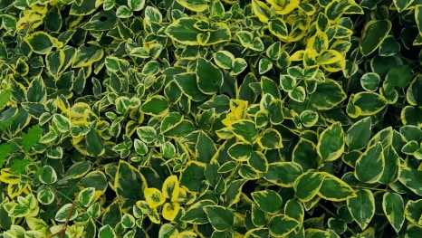 Zimzelen – Vinca major variegata