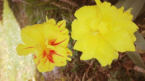 Rascvjetani tulipani
