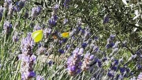 Ples leptira na mljetskoj lavandi