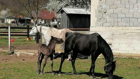 Veseli lički konji (Foto: Nikola Pastuović)