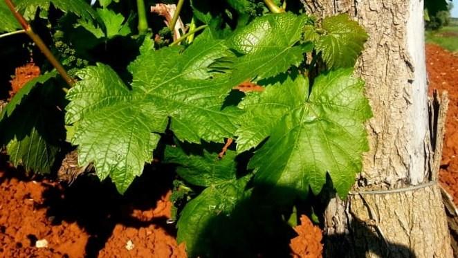 Ekološka hrana i vino glavne su značajke istarske poljoprivrede