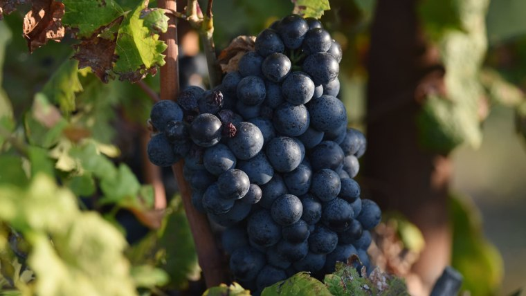This year is an excellent year for the grape harvest in Herzegovina. (Photo: Hrvoje Jelavic/PIXSELL)