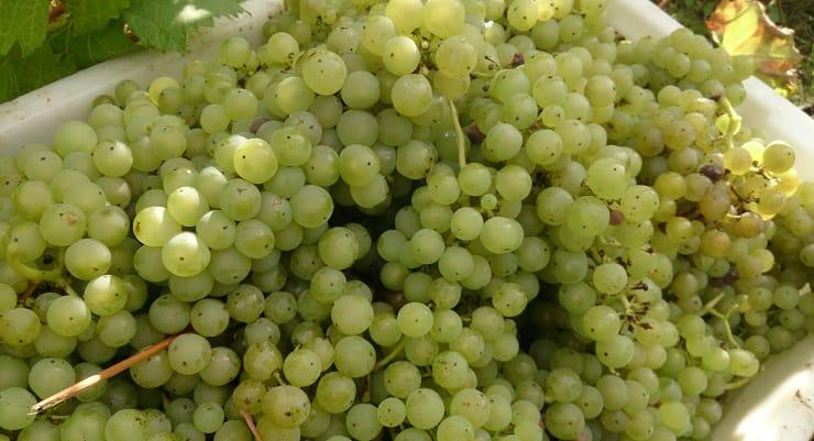 harvest_grapes