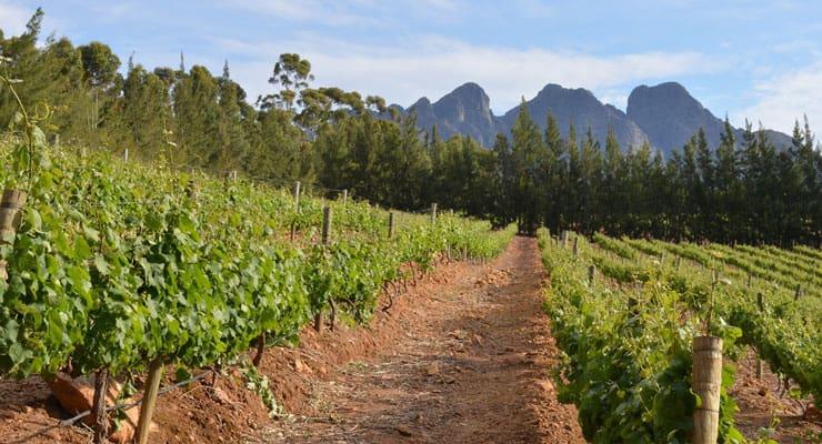 south-africa-vineyard