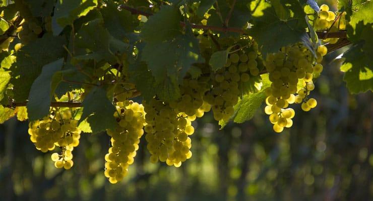 prosecco-grape
